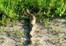 Papozze – Avvistato un pitone reale lungo l'argine del Po